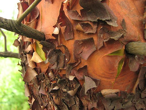 Pacific Madrone bark tree