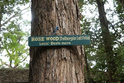 Rosewood tree