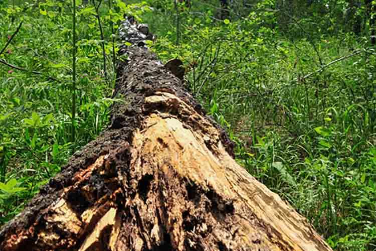 lying birch tree in a forest