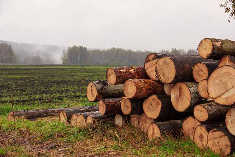 On a plowed field, close-up stacked trunks of cut trees.Autumn and spring fog in the background, slush and mud. Timber cutting.