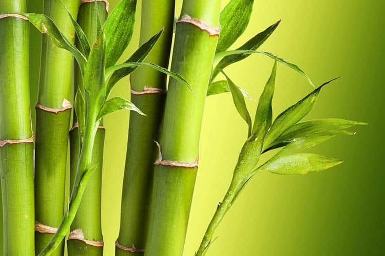 fresh bamboo plants