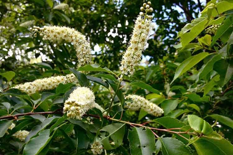 Black cherry or American is Prunus serotine