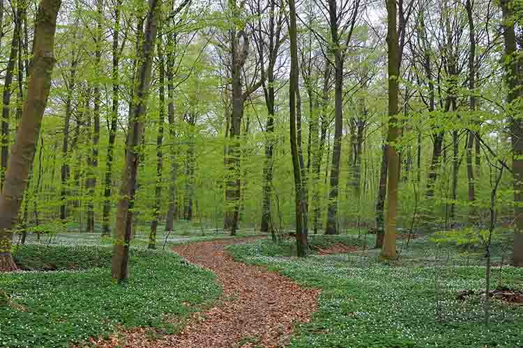 Newly sprung beeches and anemones