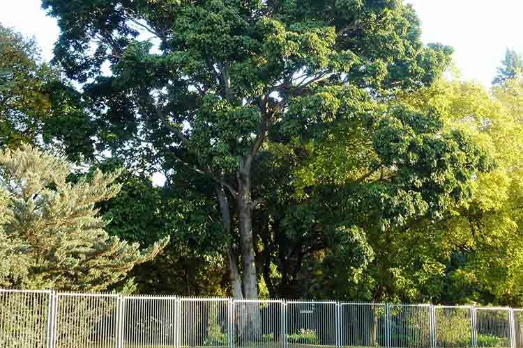 African mahogany (Khaya anthotheca, Grandiflora, ivorensis, & senegalensis)-min