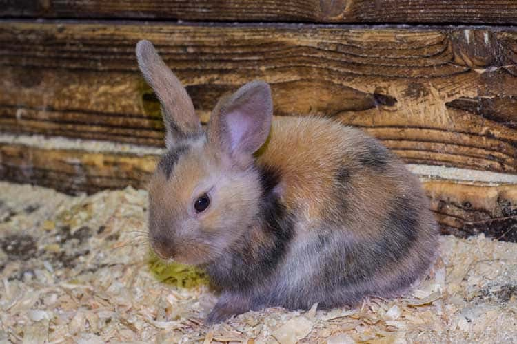 Beautiful, young, tricolor, little rabbit. Rabbits in a pen at t
