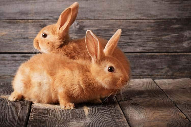 Red rabbits on wooden background