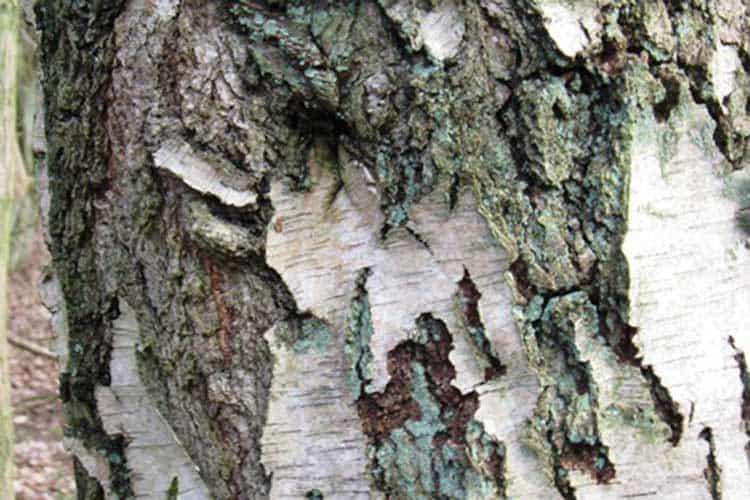 Bark on Old Silver Birch tree