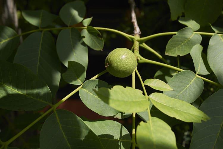 Branch of Juglans regia with fresh walnut