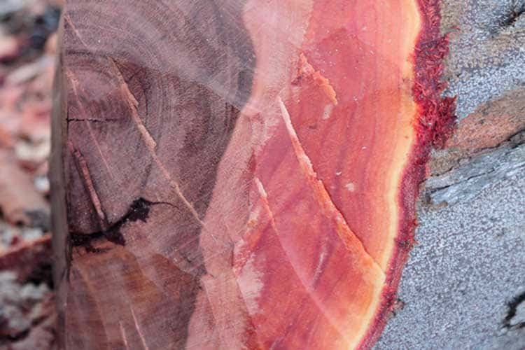Close up of stump of Mahogany Tree