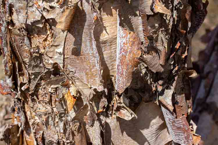 Close up texture view river birch tree