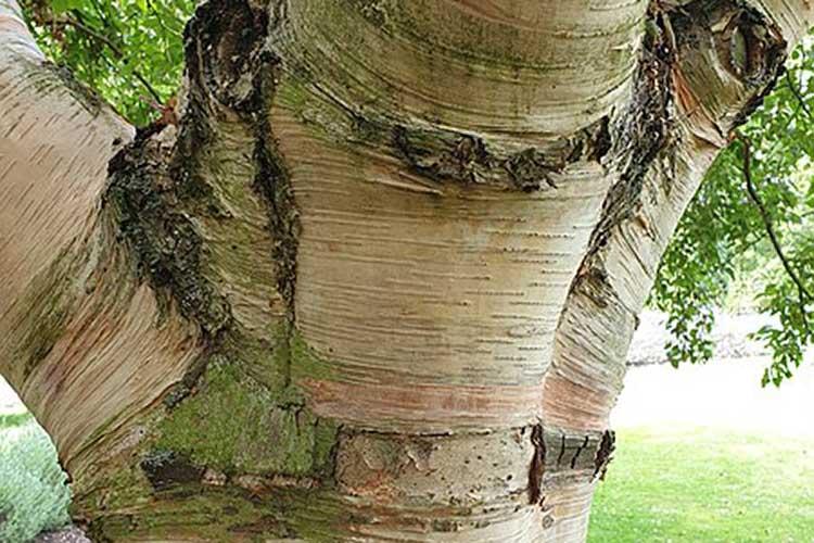Downy Birch (Betula pubescens)