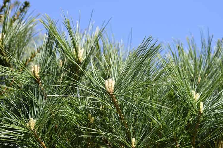 Eastern white pine Nana Compacta