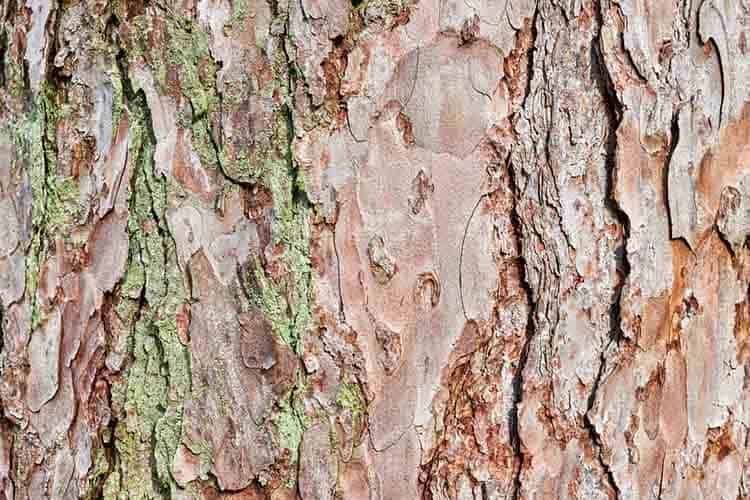 Embossed texture of the bark of red pine. Pine bark background.