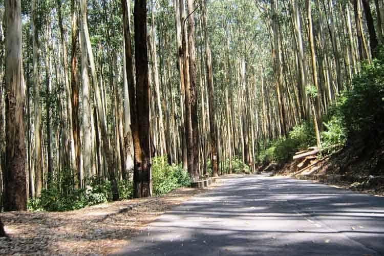 Eucalyptus Grandis Plantation