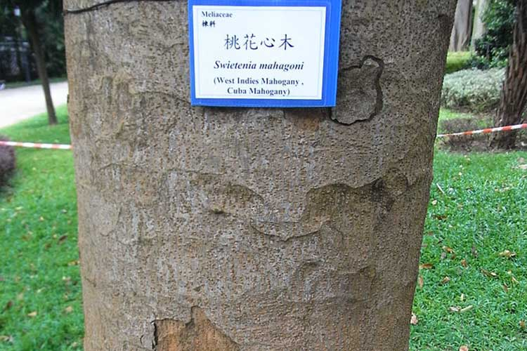 HK_Park_Swietenia_Mahagoni_Tree_Cuba_Mahogany_Meliaceae_trunk_Aug-2012