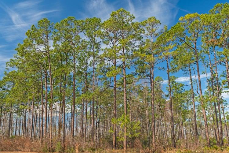 Longleaf pines in the Okefenokee Swamp in Georgia