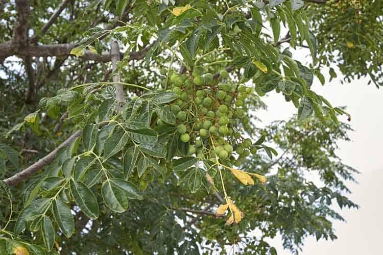 Melia azedarach branch with fruit