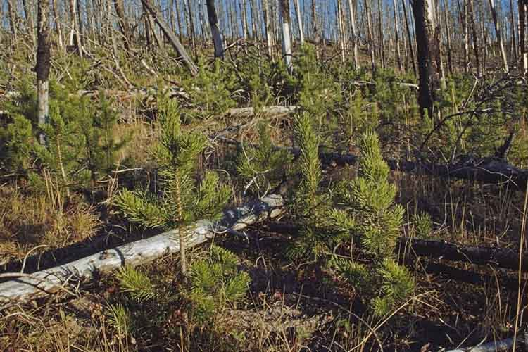 New Growth Lodgepole Pines In Burnt Area