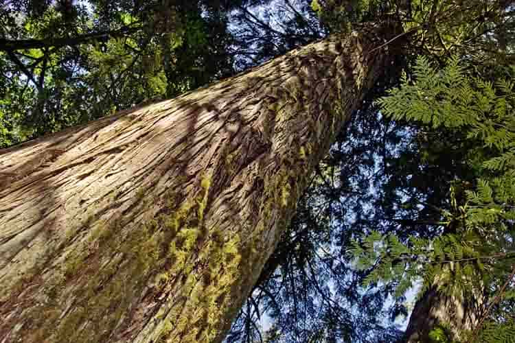 A gigantic old growth red cedar tree