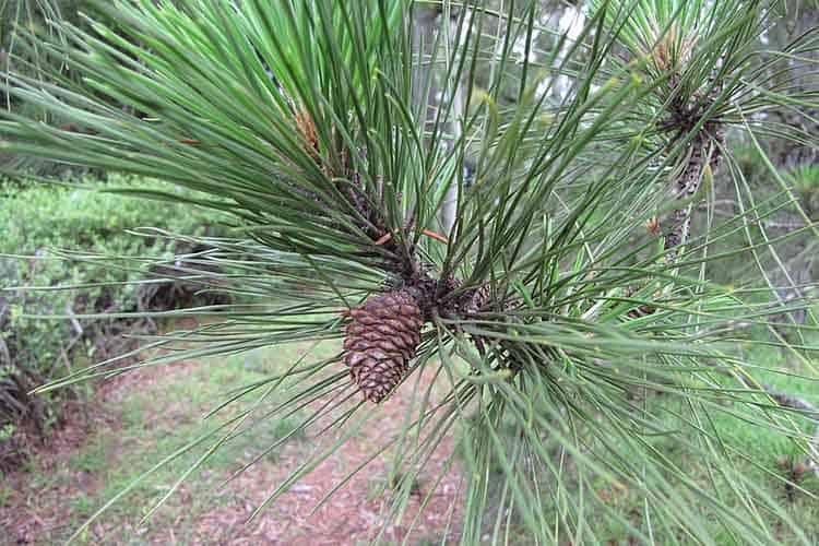 Pinus elliottii (Slash pine)