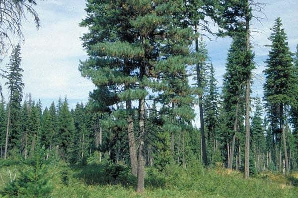 Pinus monticola Idaho2