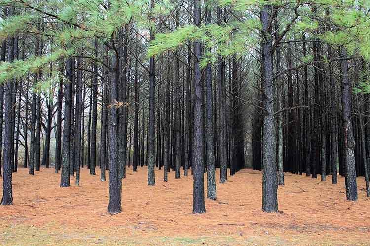 Pinus taeda plantation