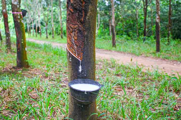 Vietnam rubber tree,Tapping latex rubber,latex extracted from rubber tree
