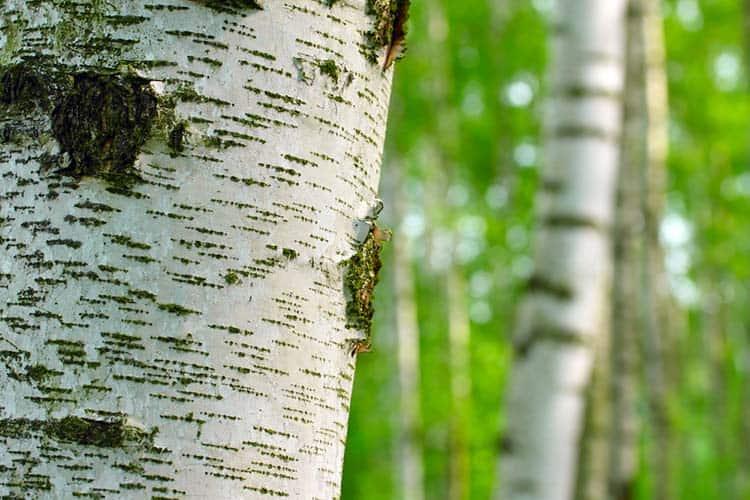 Birch forest, Betula bentula