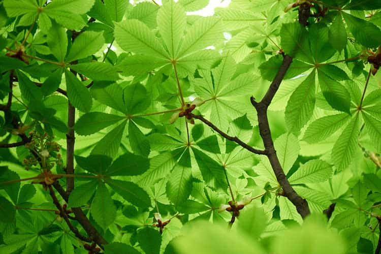 beautiful chestnut tree with bright green leaves
