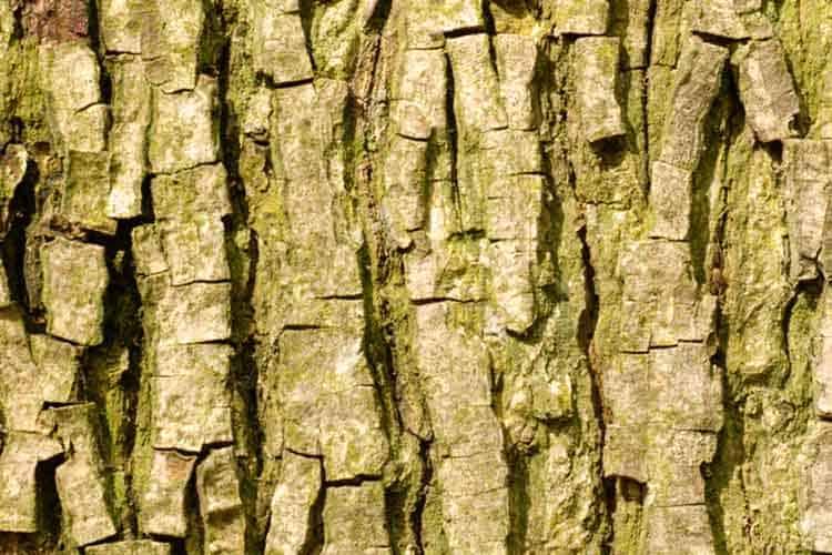 bark from a bitternut hickory or carya cordiformis tree