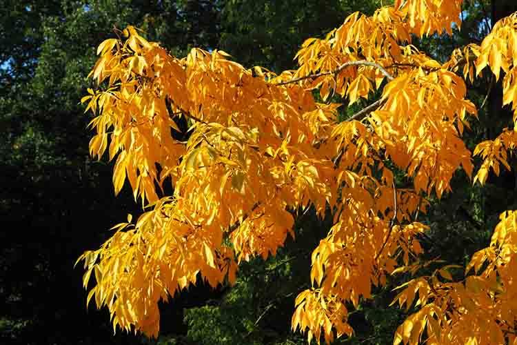 Stunning bright yellow foliage on braches of the shagbark hickory tree, Carya ovata, in autumn