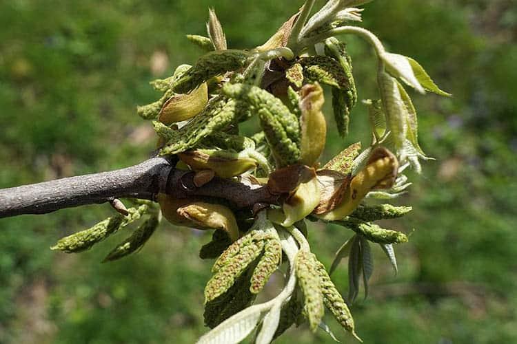 Carya myristiciformis (Nutmeg Hickory)