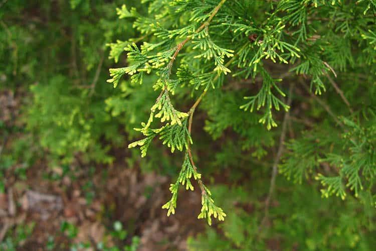 Chamaecyparis thyoides in Arboretum in PAN Botanical Garden in Warsaw