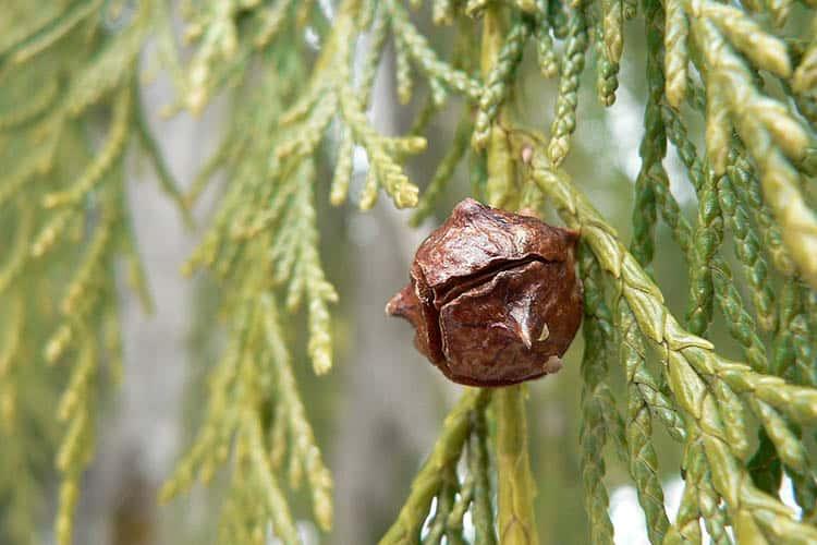 Nootka Cypress, Yellow Cypress, Alaska Cypress; female cone