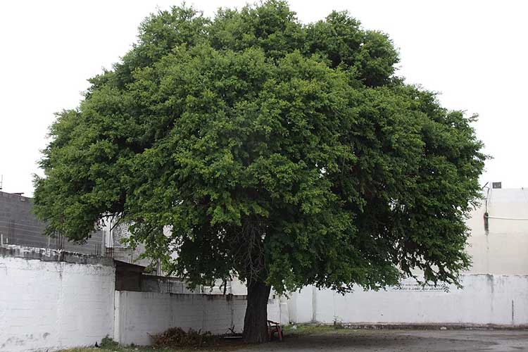 Mature sample of Texas Ebony tree (Ebenopsis ebano)