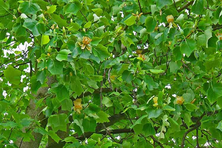 Liriodendron tulipifera, Magnoliaceae, Tulip Tree, Tulip Poplar, Yellow Poplar, flowers and leaves; Karlsruhe, Germany. The bark is used in homeopathy as remedy: Liriodendrom tulipifera