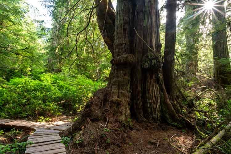 Sunburst with Western Red Cedar, Thuja plicata, at Jurassic Grove, Vancouver Island, BC Canada