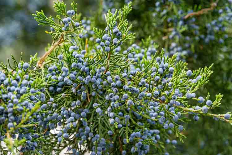 Close-up of beautiful branch of Juniperus virginiana tree or Pencil Cedar with lot ripe blue berries. Selective focus of blue fruit Eastern Red Cedar tree. Nature concept for design
