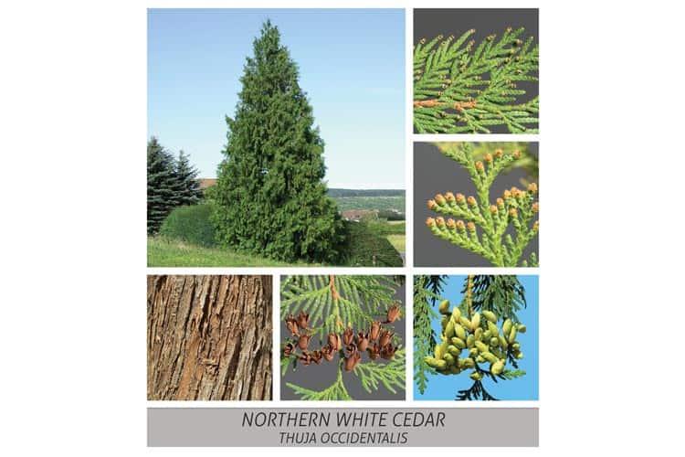 Northern White Cedar, occidental, thuja, occidentalis,